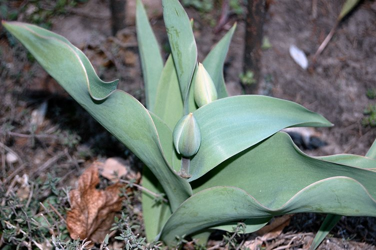 [tulips.jpg]