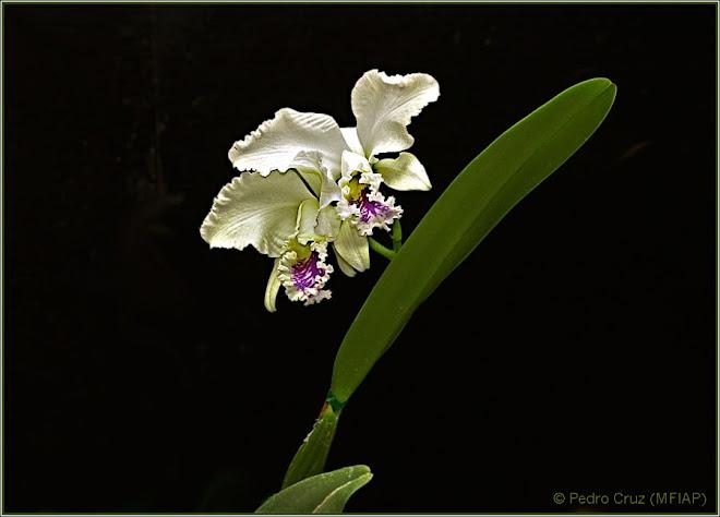 orquidea en lila y blanco