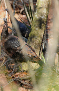 Wild Turkey at Audubon's Francis Beidler Forest by Mark Musselman