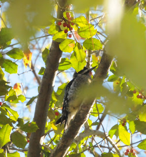 Yellow-bellied Sapsucker with holly berries at Audubon's Francis Beidler Forest by Mark Musselman