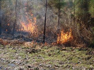 Audubon SC burning Longleaf Pine by Mark Musselman