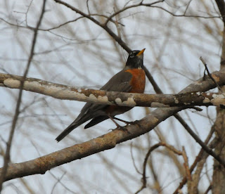 American Robin at Audubon's Francis Beidler Forest by Mark Musselman