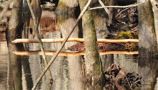Beaver sign at Audubon's Francis Beidler Forest by Mark Musselman