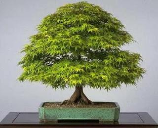 Ideias decoração mobiliário | Transplantar bonsai