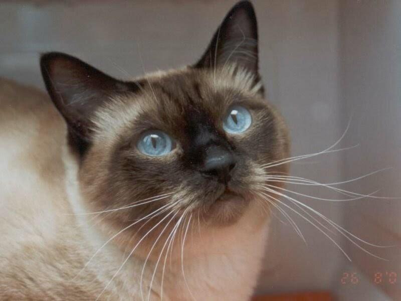 Un mundo animal razas de gatos dom sticos for Kuchenzeile 2 10 m
