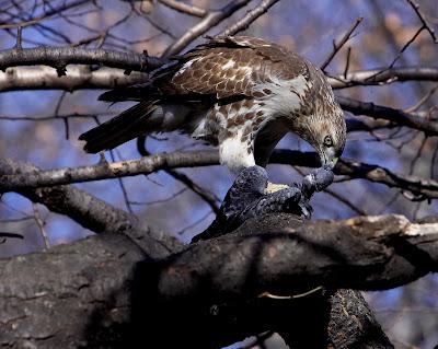 Hawk eats pigeon