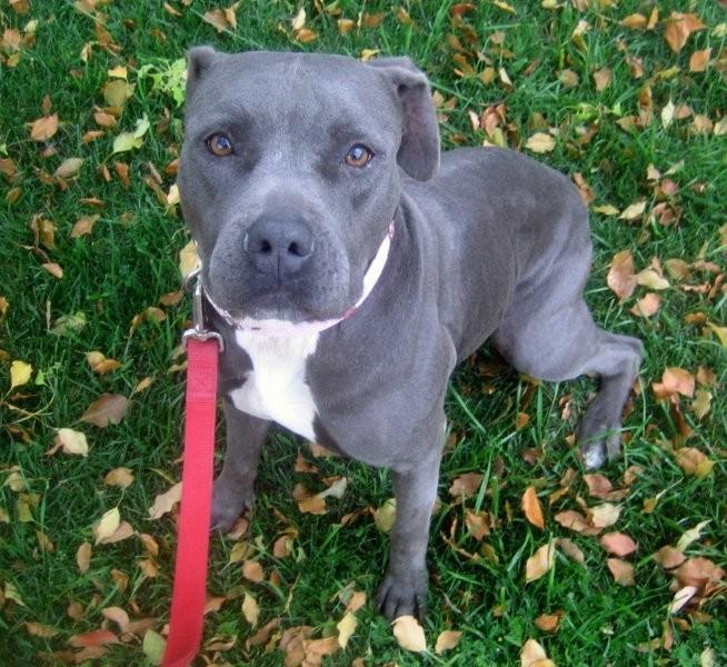 American Pit Bull Terrier se mueve con alegría, la actitud de ...