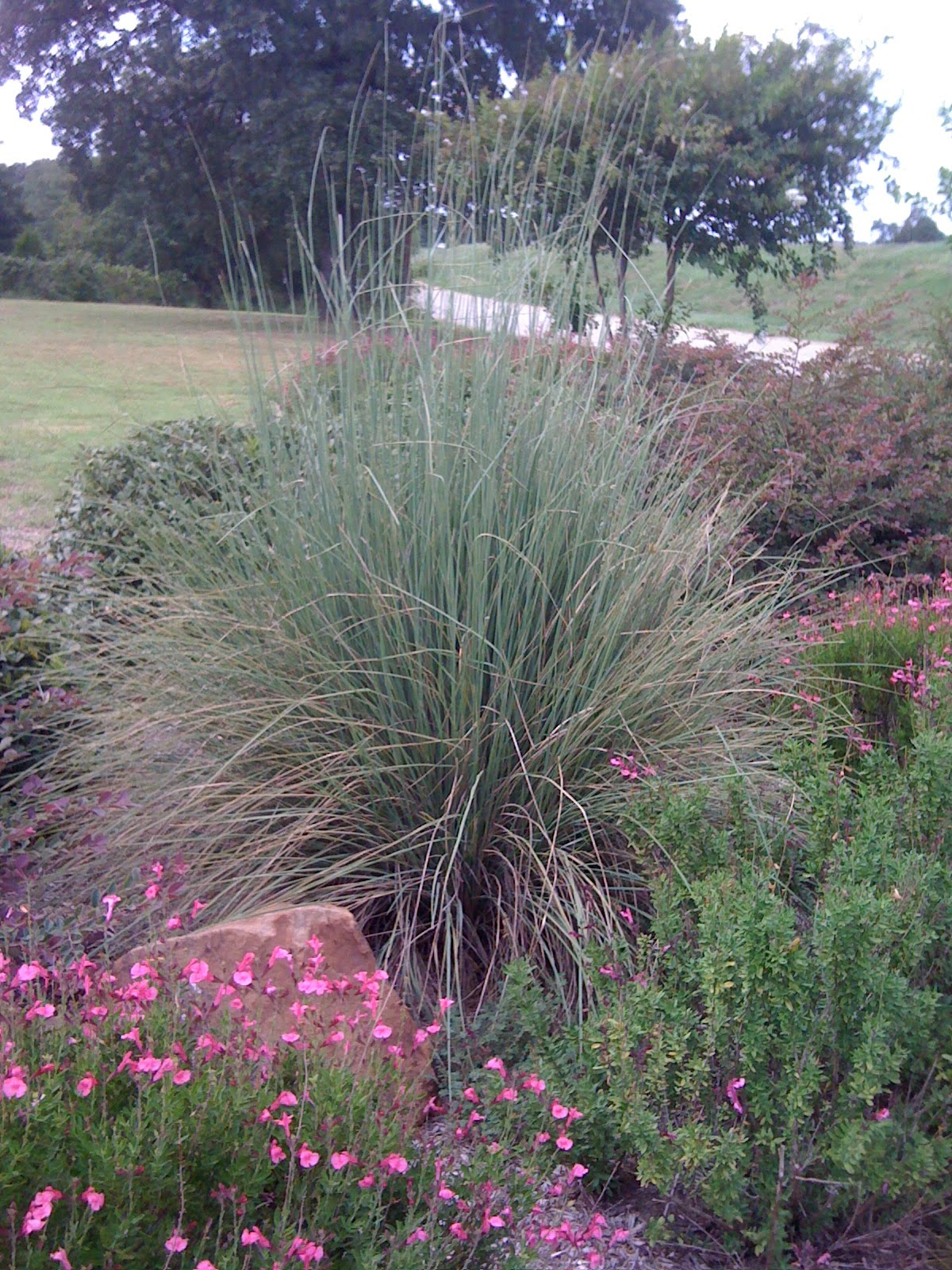 Signature gardens grasses not just for lawns anymore for Landscape grasses for sun