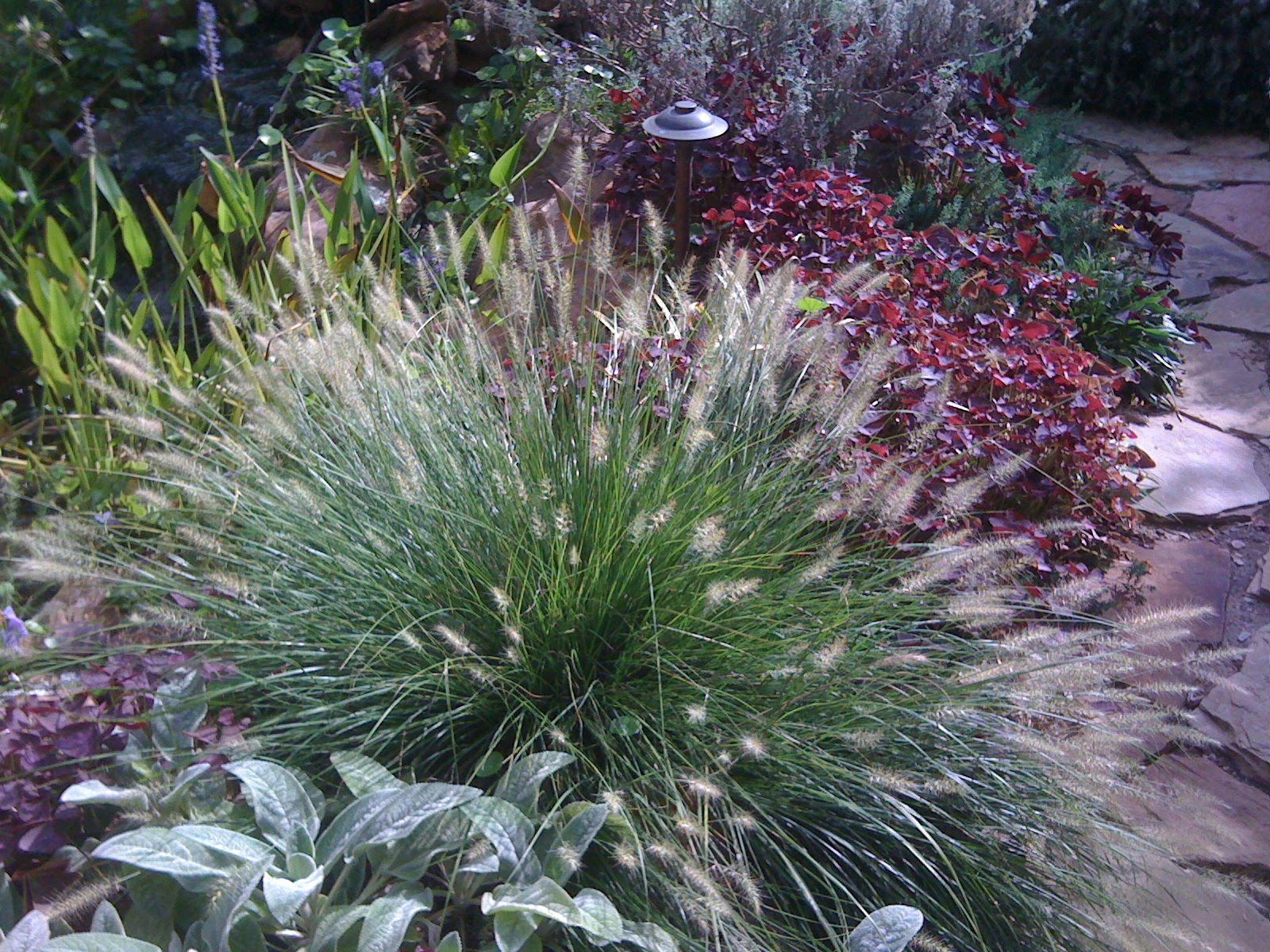 Signature gardens grasses not just for lawns anymore for Fountain grass