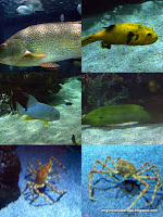 Pufferfish, moray eel and giant Japanese spider crab at the Oceanografic, Valencia