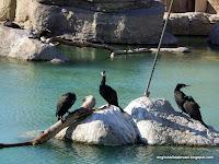 Cormorants at the Oceanografic, Valencia