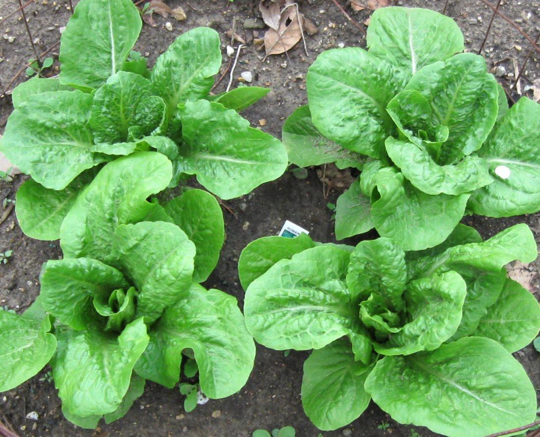 Feltsewgood how does your garden grow for How to pick lettuce from garden