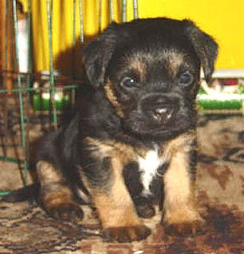 Border Terrier Puppies on Cute Border Terrier Puppies   Dog Breeds Index