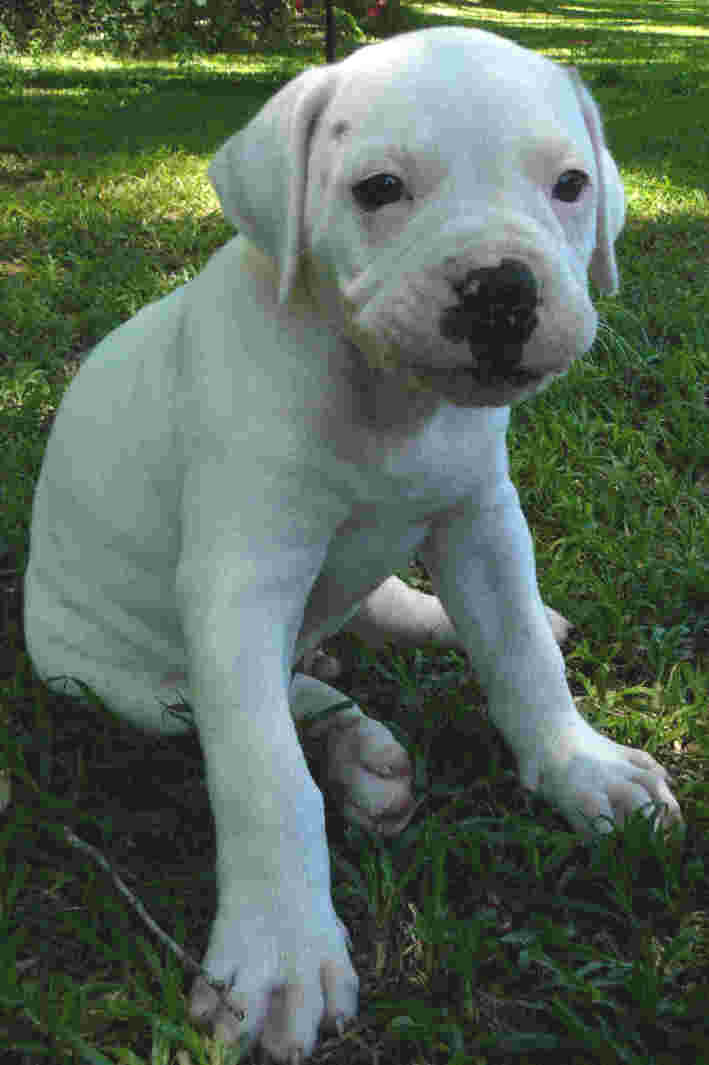 Labels: Best American Bulldog Puppies