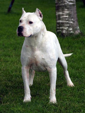 Dogo Argentino: Names of Dogo Argentino | Dog Breeds Index