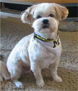 Lhasa Apso Haircuts | Dog Breeds Index