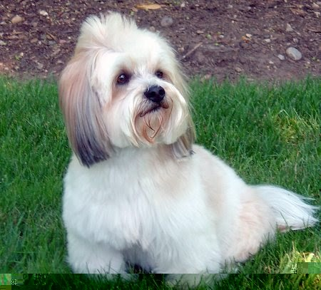 Lhasa Apso Haircuts | Dog Breeds Index