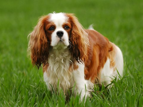 Adult English Toy Spaniel in the park