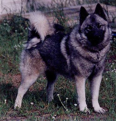 Norwegian Elkhound Medium Breeds | Dog Breeds Index