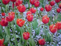 tulipmerah