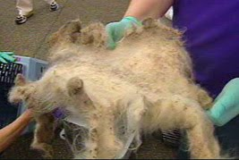 matted abused cat