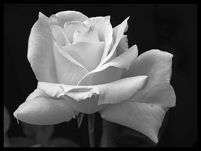 Black And White Rose Wallpaper