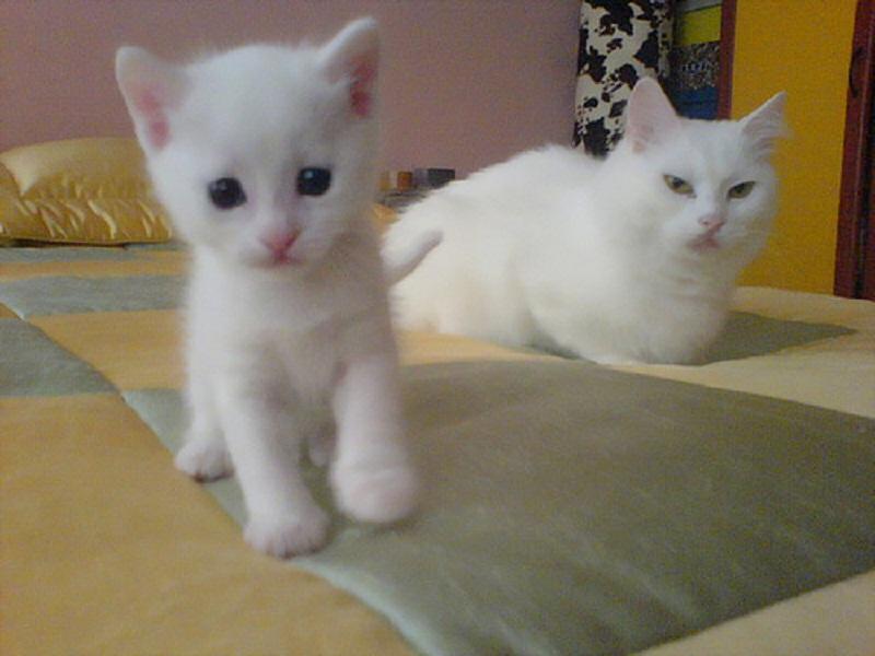 Los gatos angora. - Taringa!