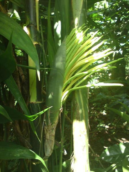 Blognatural planta d pacaya - Plantas para estanques de jardin ...