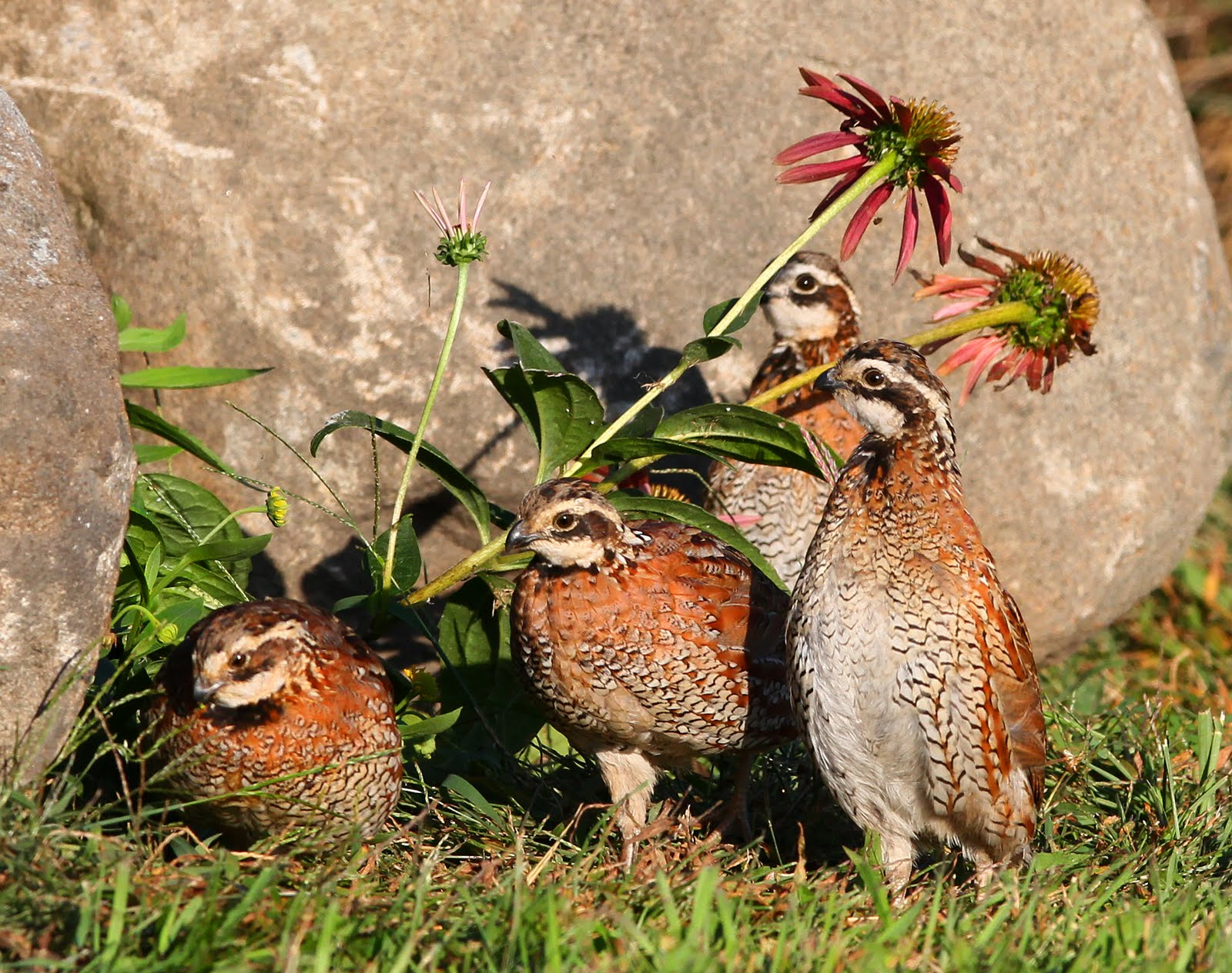 Bobwhite quail covey - photo#26