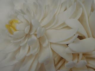 sugar chrysanthemum closeup