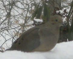 A Winter Mourning Dove