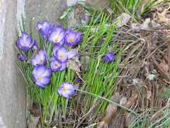 Crocus Wall
