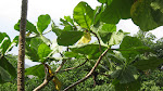 Family: Loganiaceae