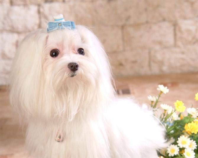 Perros Bichón Maltés