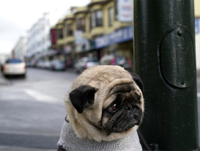Perros Pugs