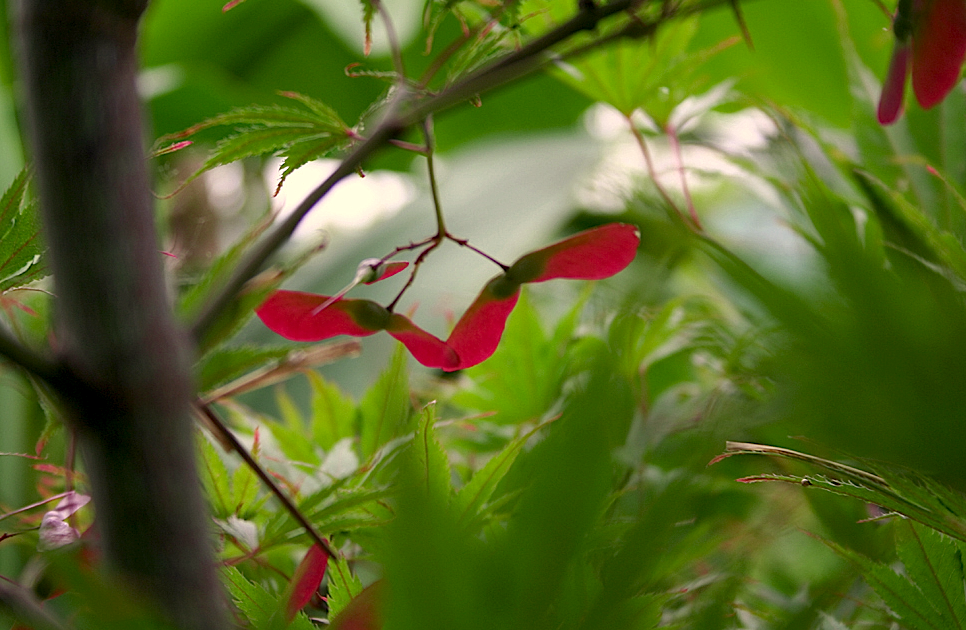 Renato photoblog aceri giapponesi non solo foglie for Aceri giapponesi