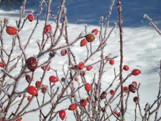 Ono sto me je fasciniralo ove zime - nj.v. sipurak. Prkosi mrazu