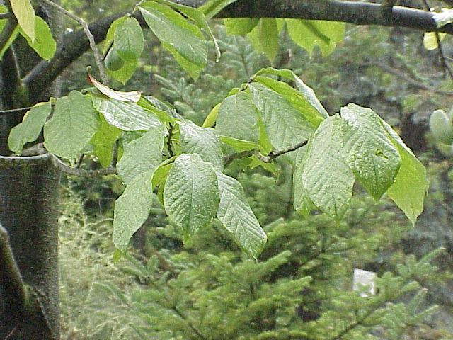 Tree notes native trees with smooth bark smooth barked trees for your landscape mightylinksfo