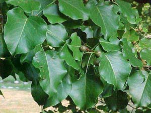 Bradford pear -- prone to problems