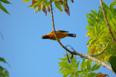 Oriole in Costa Rica
