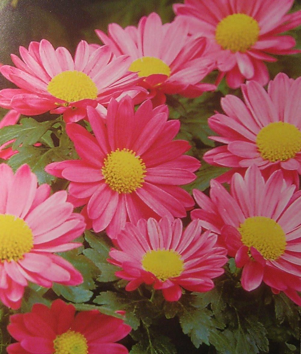 Хризантема цветы дома