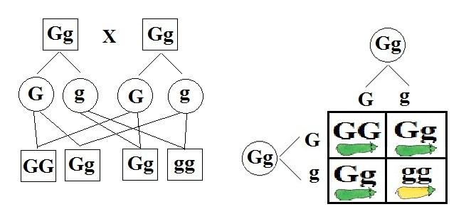monohybrid cross punnett square MEMES