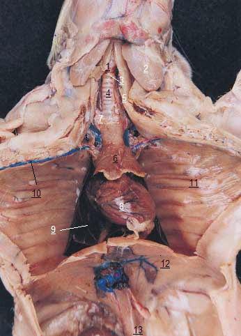 Anatomía General de la rata | AnatoBioterio