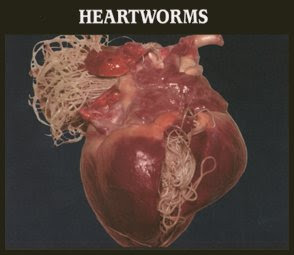 How Do Heartworms Get Into Dogs
