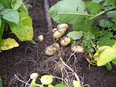 New Potatoes 2009