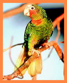 Cayman Parrot (Official Bird of the Cayman Islands)