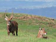 Waterbuck