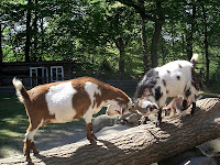 Goats butting heads, by Marius Kallhardt via Wikimedia Commons, under Creative Commons Attribution-Share Alike 2.0 Generic licence