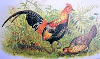Wotcha, cock!  Red junglefowl, by A O Hume - public domain