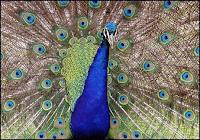 Peacock - public domain